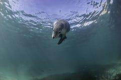 австралийское море льва Стоковая Фотография