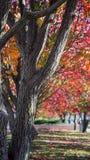 Австралийское орнаментальное грушевое дерев дерево Стоковое Изображение RF