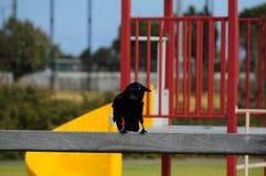 Австралийское черное положение птицы вороны Стоковые Изображения