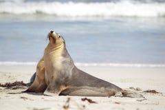 австралийское cinerea море neophoca льва Стоковое Фото