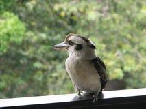 австралийское kookaburra Стоковые Фото