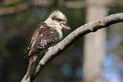 австралийское kookaburra Стоковое Изображение