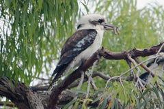 австралийское kookaburra Стоковое Изображение RF