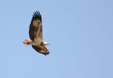 Австралийской ювенильной bellied белизной орел моря Стоковое Фото