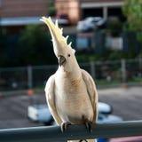 Австралийской Crested серой конец-вверх какаду Стоковое Изображение RF