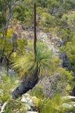 Австралия, ботаника, дерево травы Стоковые Фото