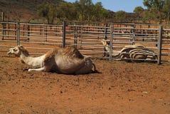 Австралия, ферма верблюда Стоковое Фото