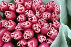 австрийские тюльпаны Стоковые Фото