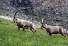 австрийские ibexes ii Стоковое Изображение RF