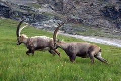 австрийские ibexes III Стоковое Изображение RF