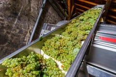 Автоматический транспортер для пуков виноградины в прессу Стоковые Изображения RF