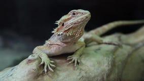 Агама, австралийская ящерица дракона сток-видео
