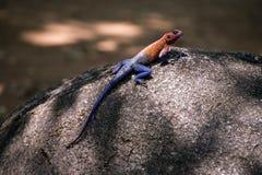 агама возглавила утес красного цвета ящерицы стоковое изображение