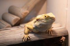 Агама или бородатый дракон Стоковые Изображения RF