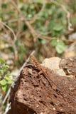 Агама на камне Стоковые Фотографии RF