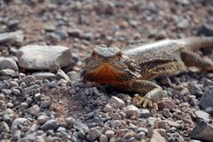 Агама проходя дорогу гравия, австралийское захолустье Стоковые Фотографии RF