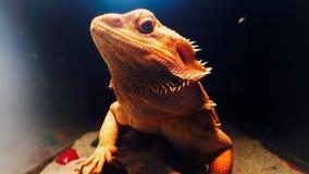 Агама самое лучшее животное photomodel Стоковые Изображения RF