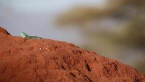 Агама Синай на гнезде термита видеоматериал