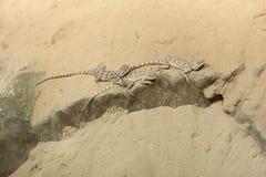Агама степи (sanguinolentus Trapelus) Стоковые Изображения RF