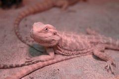 Агама ящерицы на песке Стоковые Фото
