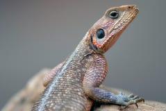Агама Mwanza ящериц снятое в Кении Стоковые Изображения