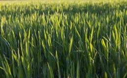 Аграрное поле с урожаем Стоковые Изображения RF