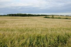 Аграрное поле рож Стоковая Фотография