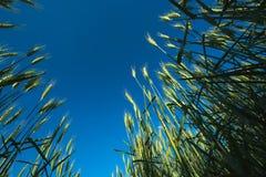 Аграрное поле ячменя подрезывает, взгляд низкого угла Стоковое Изображение RF