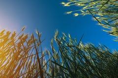 Аграрное поле ячменя подрезывает, взгляд низкого угла Стоковая Фотография RF