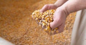 Аграрные зерна мозоли маиса видеоматериал