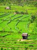 Аграрные работники в полях риса Teraced стоковые фотографии rf