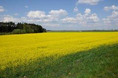 Аграрные рэпы field с лесом и голубым небом Стоковое Изображение RF