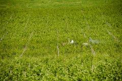 Аграрный виноградник Франция химических обработок весной стоковые фотографии rf