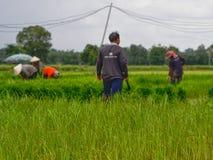 Аграрный в полях риса стоковое изображение