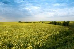 аграрный желтый цвет рапса ландшафта цветков Стоковые Фото