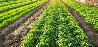 Аграрный ландшафт с плантациями овоща Растя органические овощи в поле Земледелие фермы Картошки и морковь стоковое изображение rf