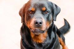 Агрессивная собака, Лабрадор sunlit, бешенство в животных стоковая фотография rf