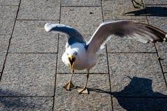 Агрессивная чайка, с открытым клювом, на обваловке города Стоковые Фотографии RF
