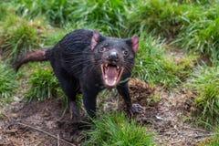 Агрессивное harrisii Sarcophilus Tasmanian дьявола с зубами и языком рта открытыми показывая стоковое изображение
