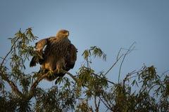 Агрессивные восточные имперские орел или heliaca aquila с крыльями открытыми на jorbeer стоковая фотография rf