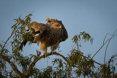 Агрессивные восточные имперские орел или heliaca aquila с крыльями открытыми на jorbeer стоковые изображения