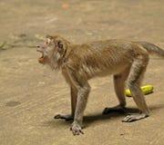 агрессивныйая обезьяна Стоковая Фотография