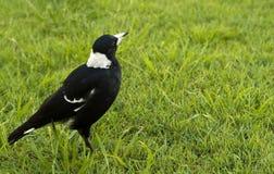 агрессивныйый tibicen magpie gymnorhina птицы Стоковые Изображения