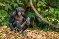Агрессивный карликовый шимпанзе Стоковое Изображение RF