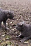 Агрессия котов Стоковое Изображение RF