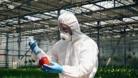 Агрономист вводит жидкость к перцу колокола в кузнеце сток-видео