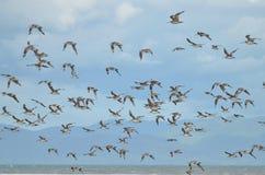 Адвокатура-замкнутый веретенник в центре Shorebird Miranda стоковые изображения rf