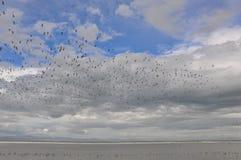 Адвокатура-замкнутый веретенник в центре Shorebird Miranda стоковые фотографии rf