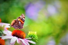 Адмирал бабочки красный на довольно розовом цветке скопируйте космос стоковая фотография rf