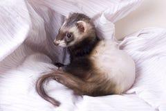 адреналовый ferret заболеванием Стоковая Фотография